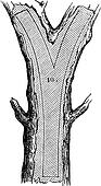 How a Tree is Made into Lumber - Fork, vintage engraving
