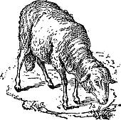 Sheep or Ovis aries, vintage engraving