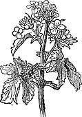 Mustard, Sinapis sp., or Brassica sp., vintage engraving