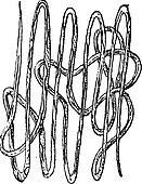 Roundworm, Nematode or Nematoda, vintage engraving