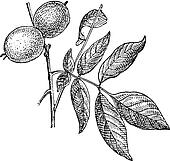 Walnut or Juglans regia, vintage engraving