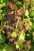 Austria, grapes