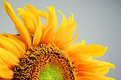 beautiful sunflower close-up on gray background