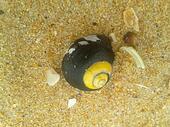 Sea Snail on Beach Sand