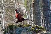 The Pheasant in action