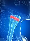 Larynx anatomy - thyroid membrane
