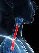 Highlighted trachea