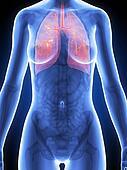 Female anatomy - bronchi