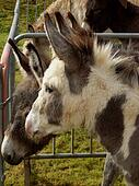 Donkeys in an enclosure