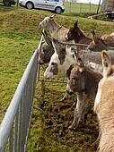 Line of donkeys