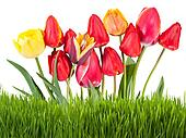 Yellow and red tulips with grass