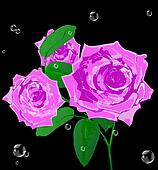 Beautiful pink rose on a black