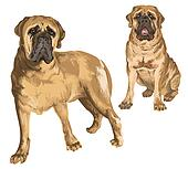 Two images of mastiff