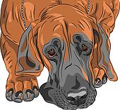 vector close-up sketch domestic dog Great Dane breed
