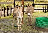 Two Donkeys in Zoo