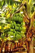Painting Large Banana Bunch Close-up