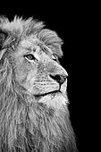 Black and White Isolated Lion Face