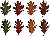 Oak Leaves-Black Oak and White Oak