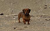3D Image of Miniature Dachshund