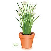 Garlic Chives Herb, Clay Flowerpot