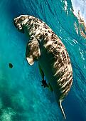 dugong surfacing to breath