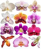 set orchid