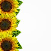 yellow sunflowers on white background
