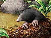 European Mole in molehill, Talpa europaea.