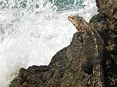 Iguana on iron shore formation at beach