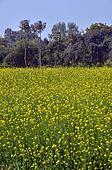 Mustard fields in Kajuraho MP Central India