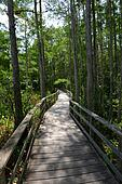 Path through cypress tress forest in Florida