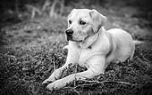 Labrador Retriever on the grass