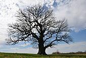 Silhoette of big tree
