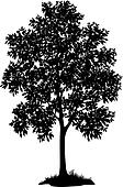 Maple tree and grass, silhouette