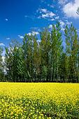 mustard field, kashmir,india