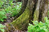 big tree roots