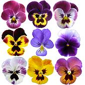 9 Pansies on White background