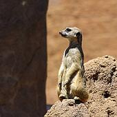 Meerkat Standing Lookout