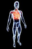 Internal Organs - Lungs