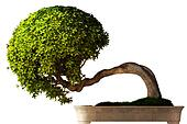 Bonsai tree side view