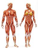 Male and Female muscular skeletal