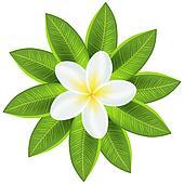 Beautiful white tropical flower