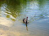 Black swan in the pond picture