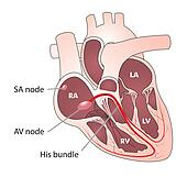 Heart electrical conduction
