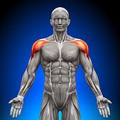 Shoulders / Deltoid - Anatomy Muscl