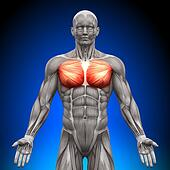 Chest / Pectoralis Major / Pectoral
