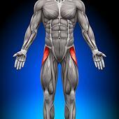 Tensor Fasciae Latea - Anatomy Musc