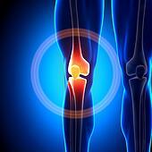 Knee Joint - Anatomy Bones