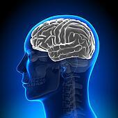 Brain Anatomy - Brain White Blank