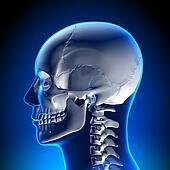 Brain Anatomy - White Skull
